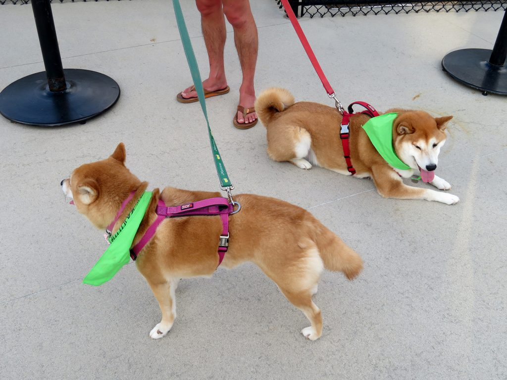 One shiba inu stands and another shiba inua lays down on pavement.